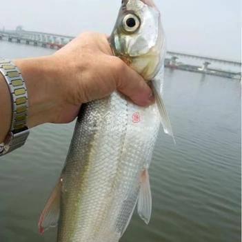 白条鱼 人工养殖 0.5公斤以下