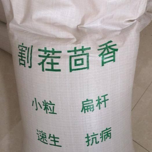 山东省济南市历城区小茴香 割茬扁杆