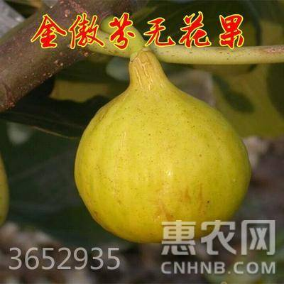 波姬紅無花果苗  品種全  當年掛果