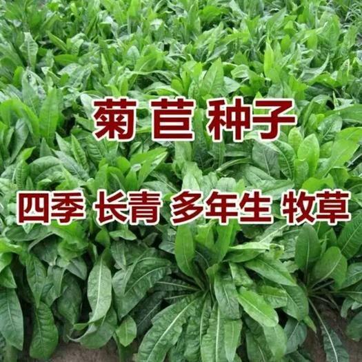 山東省濟寧市嘉祥縣菊苣  菊苣種子