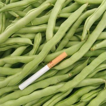 白花四季豆 15cm以上