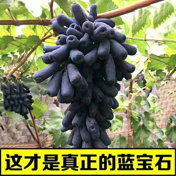 藍寶石葡萄苗 營養杯苗