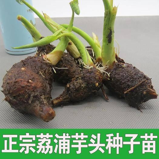 廣西壯族自治區桂林市荔浦市芋頭種子 1cm以上