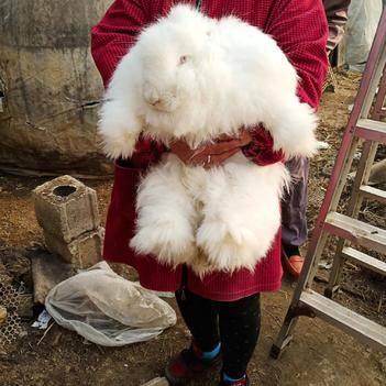 長毛兔 1-3斤