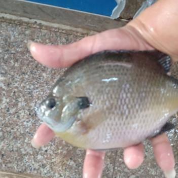 蓝鳃太阳鱼 美国优质蓝鳃太阳鱼2-5cm