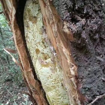 野生蜂蜜 散裝 2年以上 95%以上