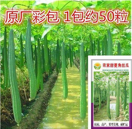 湖南省邵阳市邵东县丝瓜种子 菱角50粒