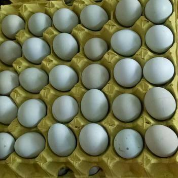 綠殼雞蛋 箱裝 食用