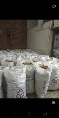 廣東省中山市中山市干沙姜  24個月以上 袋裝 生沙羌,,,,生沙羌