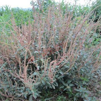 紅莧菜 20-25cm 紫紅