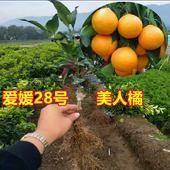 愛媛28號柑桔苗 嫁接苗 1~1.5米