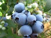 萊克西藍莓苗 當年掛果帶土帶葉帶果發貨