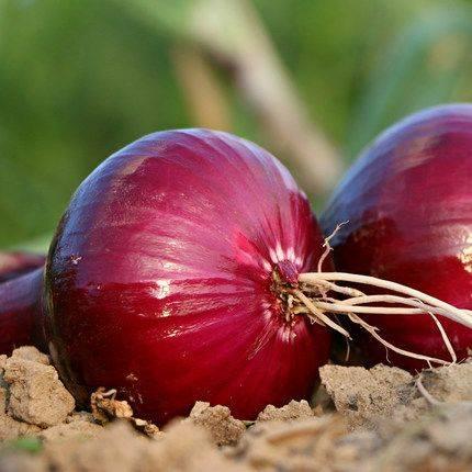 [紫皮洋葱批发] 高山紫皮洋葱  新鲜蔬菜 现挖现发基地直发 包邮价格29.9元/箱