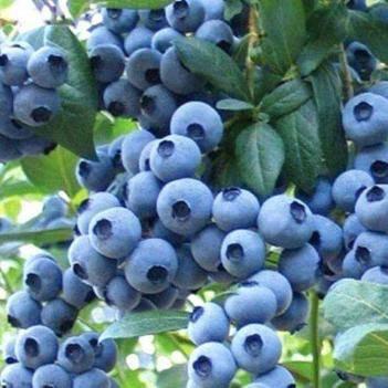 萊克西藍莓苗 量大價優帶果發貨  當年掛果帶土帶葉帶果發貨  地栽盆栽