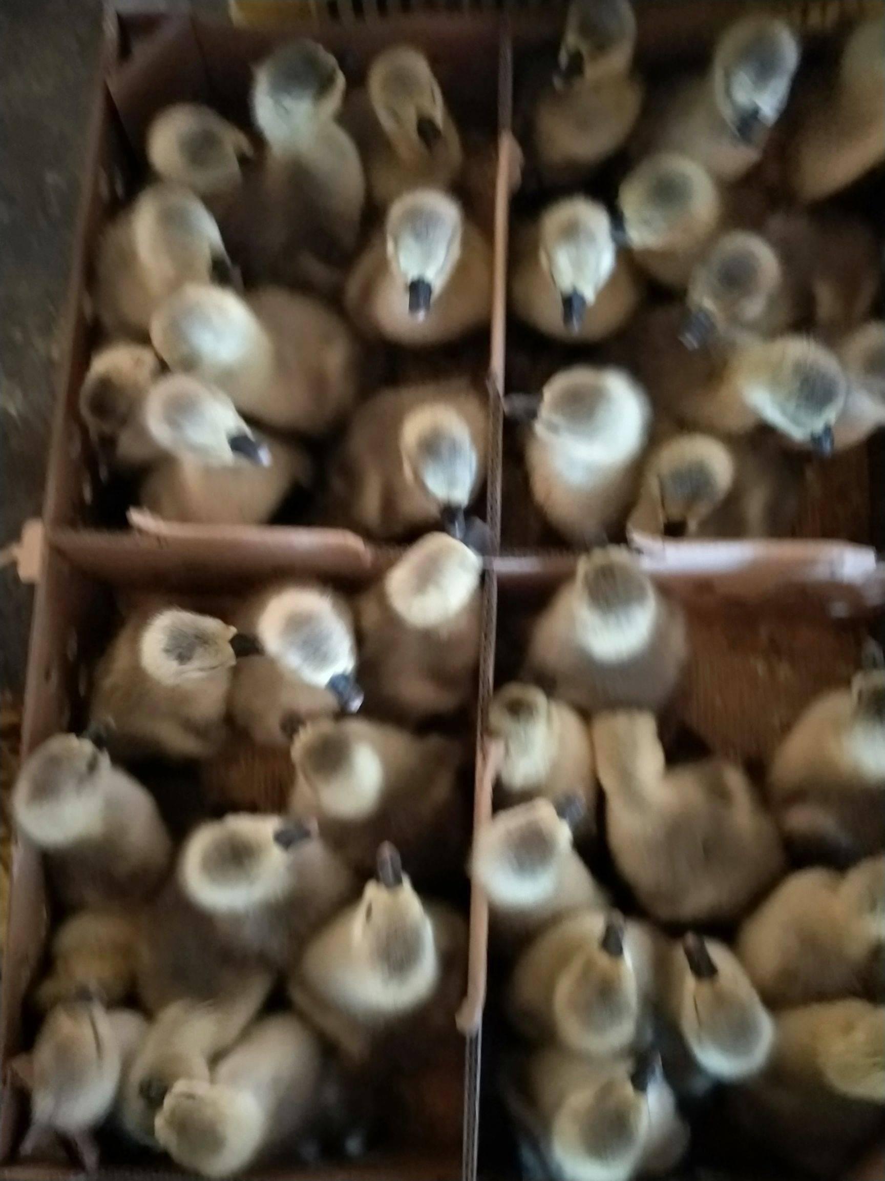 [狮头鹅批发]狮头鹅 12斤以上 统货 半圈养半散养价格50元/只