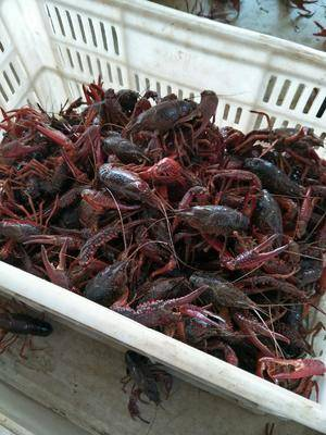 清水小龙虾 4-6钱 塘虾