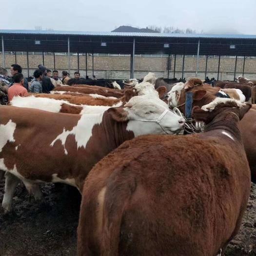 貴州省畢節市威寧彝族回族苗族自治縣 西門塔爾牛犢,架子牛,大牛等品種繁多,品質優良,價格合理。