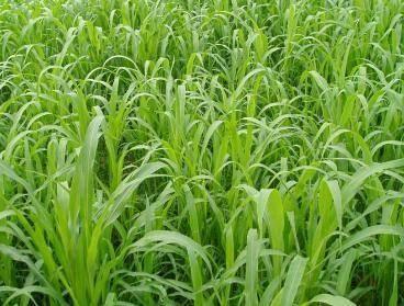 江苏省宿迁市沭阳县苏丹草种子  长得快产量喜温暖
