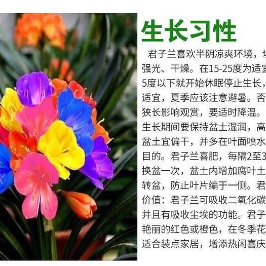 广东省惠州市惠阳区君子兰苗