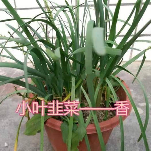 广东省广州市增城区小叶韭菜  头茬 小叶韭菜苗