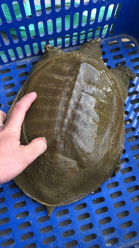 2.5斤放養大甲魚42元一只
