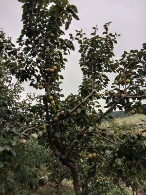 遼寧省鐵嶺市開原市榛子 6-12個月 散裝