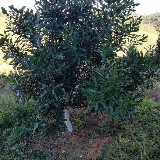 云南省德宏傣族景頗族自治州芒市澳洲青蘋果 110mm以上 翠綠 光果