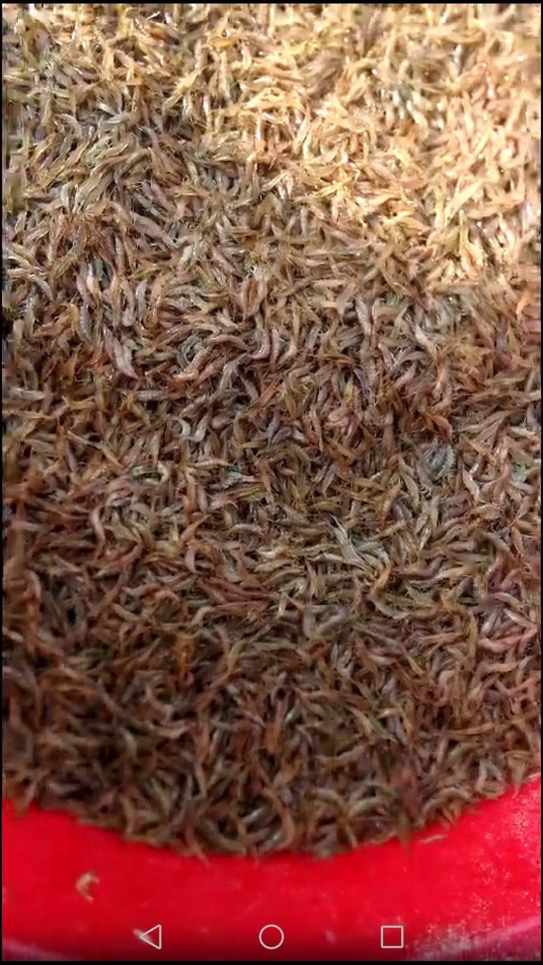 养殖小米虾,货源稳定,保质保量