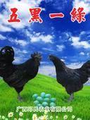 綠殼蛋雞苗