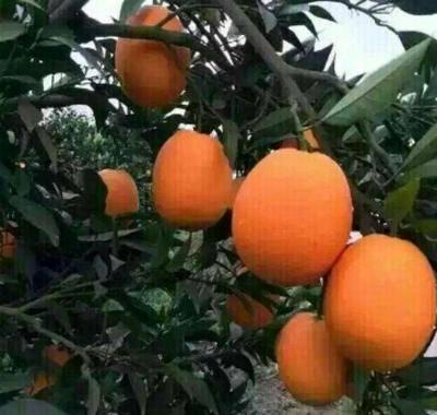 湖北省荊門市京山縣 中國倫晚臍橙。精品大果大量上市中。甜度達到28~30水分足充