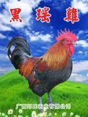 血毛土雞苗  純種黑瑤雞