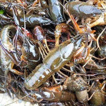 安徽小龍蝦 龍蝦 硬規青蝦 肉質飽滿 農戶直銷
