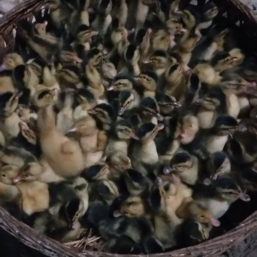 广西壮族自治区桂林市灵川县麻鸭苗 大种麻鸭,包打疫苗