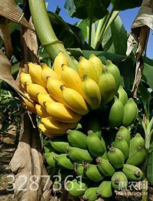 小米蕉 香蕉 網紅香蕉