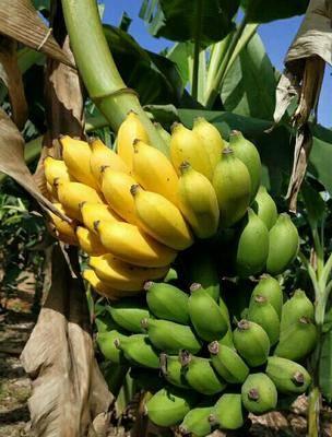 廣西壯族自治區南寧市西鄉塘區米蕉  七成熟 網紅水果