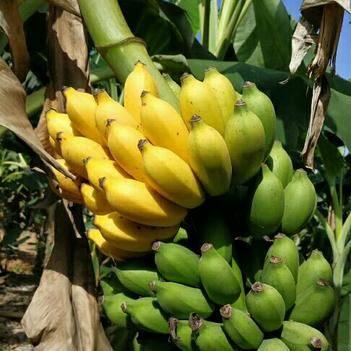 小米蕉 網紅香蕉非香蕉紅皮香蕉皇帝蕉芭蕉