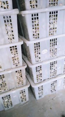 四川省廣安市岳池縣土鵪鶉蛋 食用 散裝
