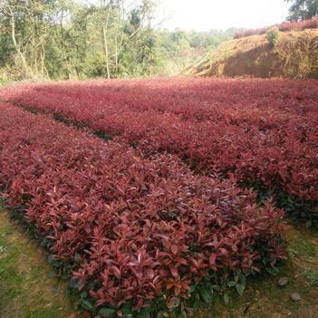 紅葉石楠樹苗  庭院 別墅 工程 綠化 色塊苗木