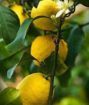 四季檸檬苗 四季檸檬尤力克