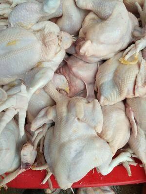 山東省菏澤市牡丹區白條雞 新鮮