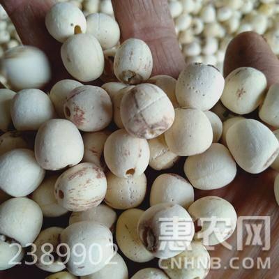 白蓮子  特級 95%-98% 純天然白蓮,自產自銷