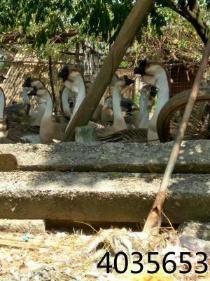 [狮头鹅苗]狮头鹅苗品种a品种,包打疫苗价格视频炖梨图片