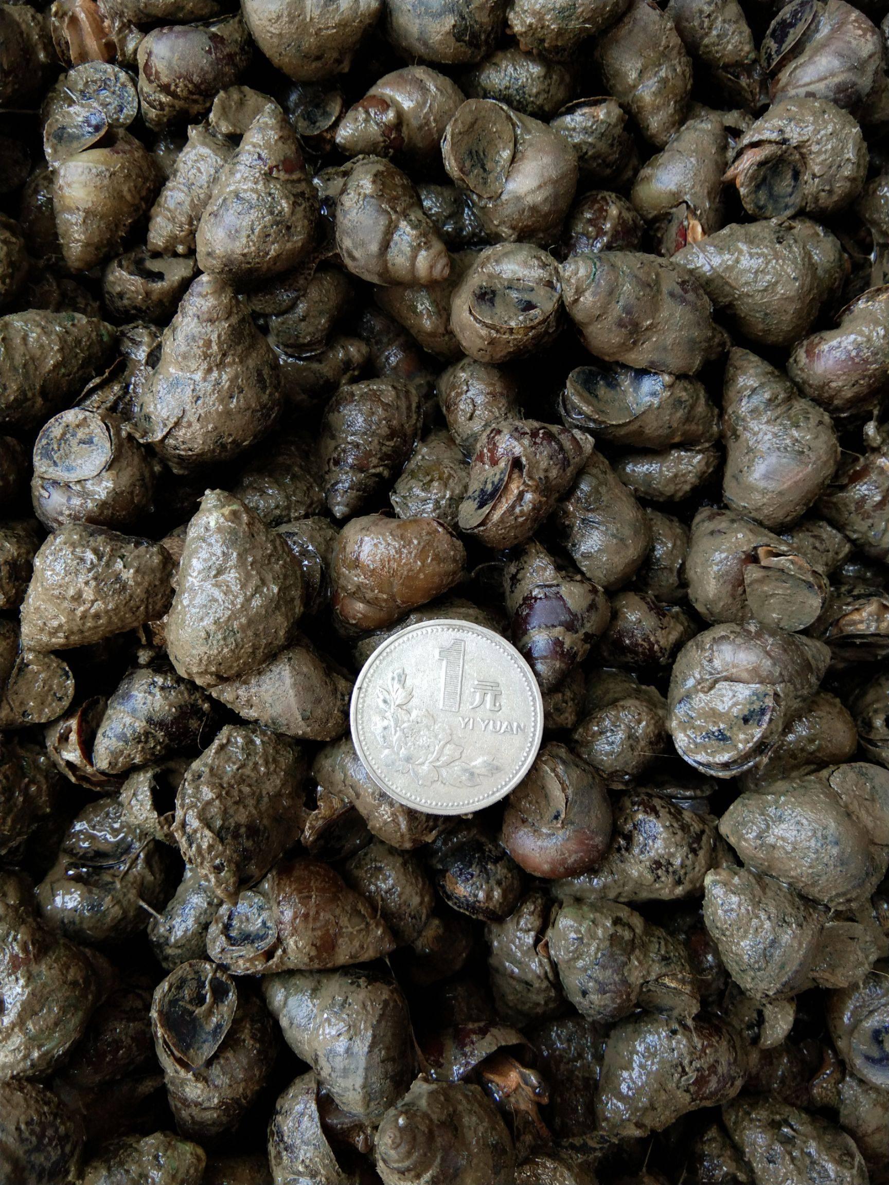 泥螺 野生鲜活石螺