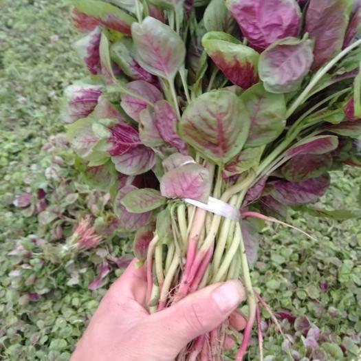 湖北省襄陽市襄州區紅莧菜 20-25cm 紫紅