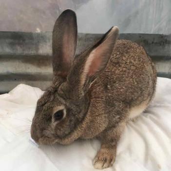 雜交野兔種兔只33元只包郵,送藥送兔糧,送養殖技術資料。