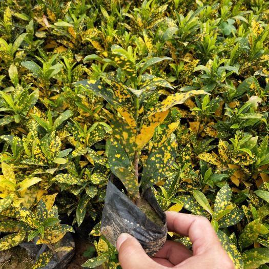 福建省漳州市漳浦县洒金珊瑚 黄点变叶木,星点变叶木,大量现货海南洒金