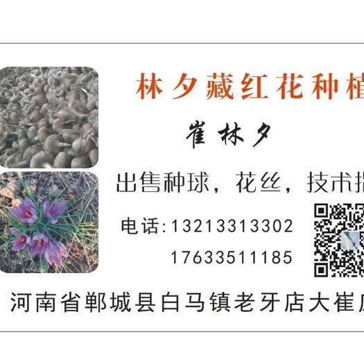 河南省周口市郸城县藏红花种球 河南藏红花种植基地