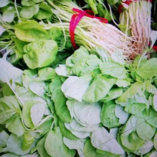 安徽省亳州市利辛縣白莧菜 25-30cm 鮮綠