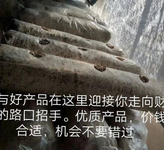 云南省昆明市西山区香菇菌种