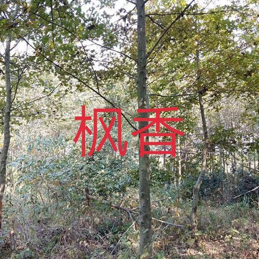 江西省九江市柴桑区枫香苗